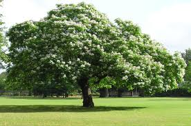 Catalpa in bloom